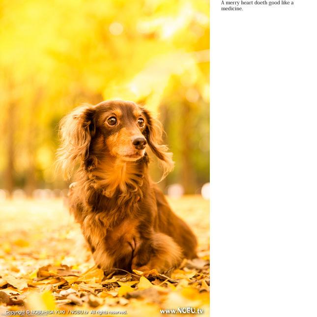 NOBU.tv : Yellow Autumn