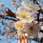 代々木公園の桜(3月22日現在)