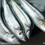 サンマ(秋刀魚)