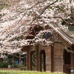 代々木公園-桜(3/26現在)