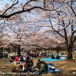 代々木公園-桜(3/30現在)