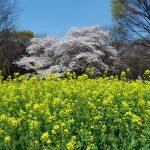 代々木公園-桜(4/7現在)