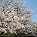 代々木公園の桜(2011年4月11日現在)