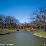 代々木公園の桜(2012年4月4日現在)