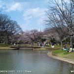 代々木公園の桜(2012年4月5日現在)