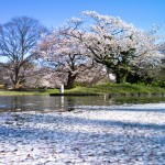 代々木公園の桜(2012年4月12日現在)