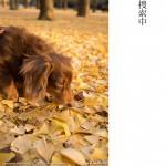 代々木公園のイチョウ(2)