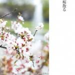 代々木公園-桜(2)