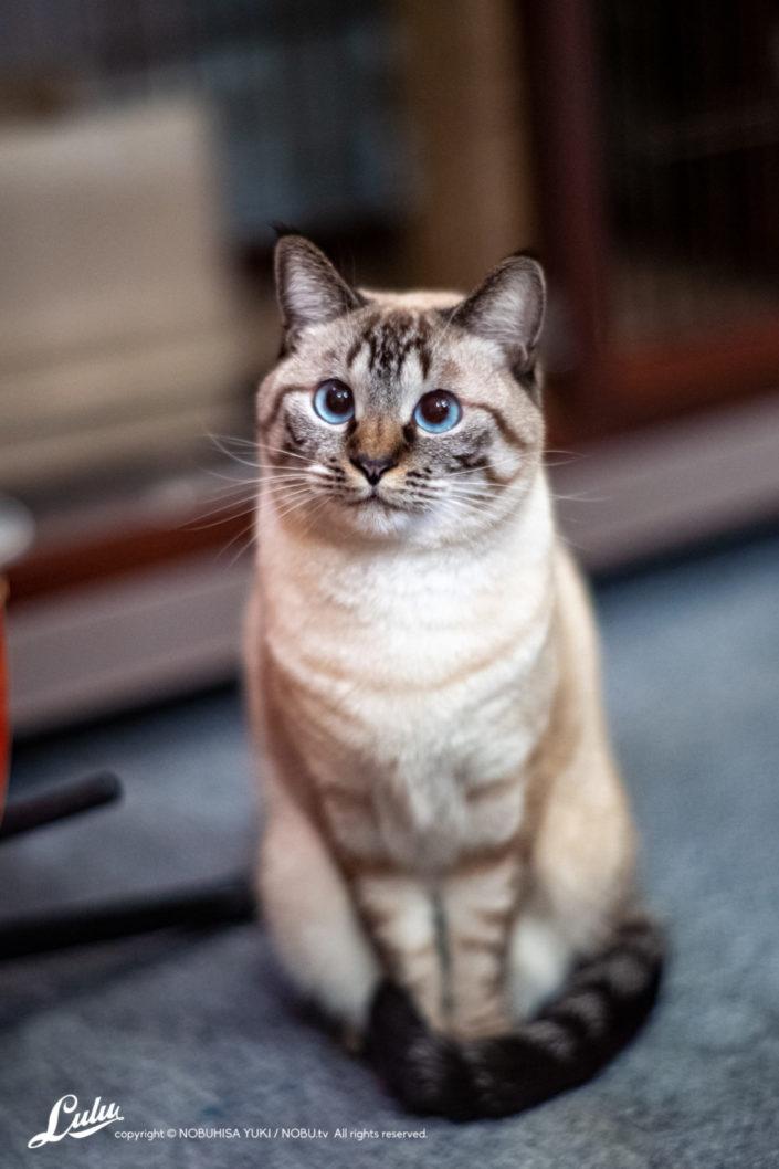 シャムMixの保護猫『Lulu』