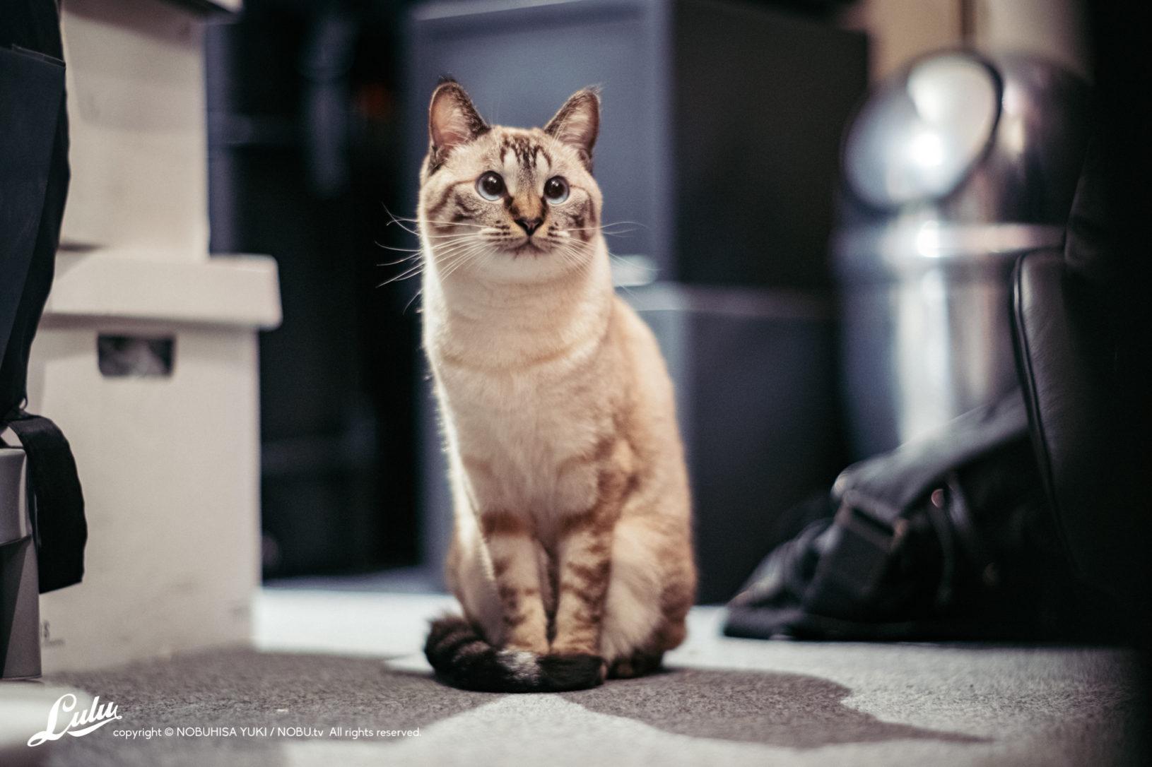 シャムトラ『Lulu』